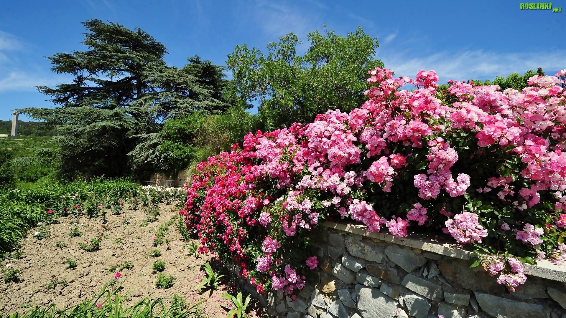 Ogród, Drzewa, Murek, Kwitnące, Krzewy, Różane
